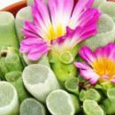 Frithia pulchra - Windows Journal - in 8,5 cm pot