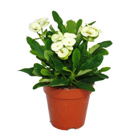White-blooming Christs thorn - Euphorbia Millii - 12cm pot
