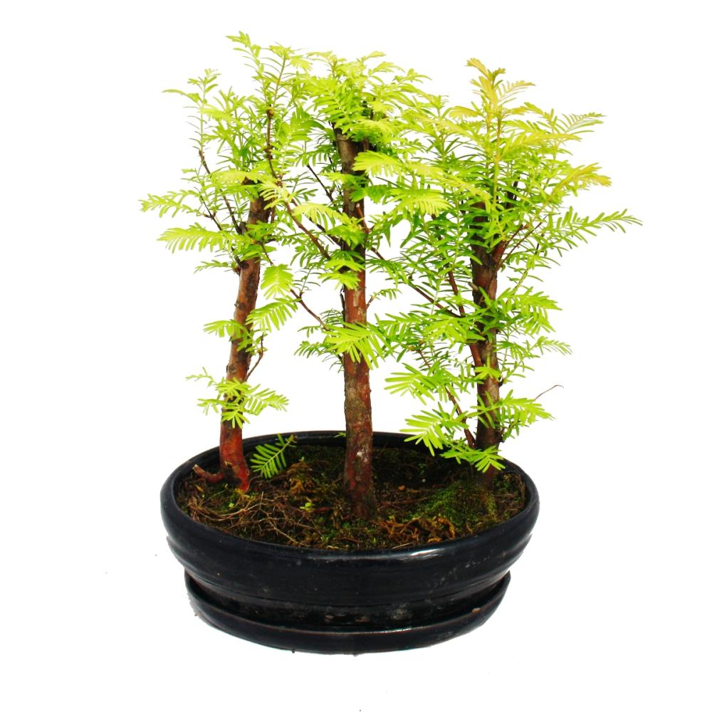 Outdoor bonsai metasequoia glyptostroboides kleiner for Bonsai pflanzen
