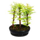Outdoor-Bonsai - Metasequoia glyptostroboides - kleiner...