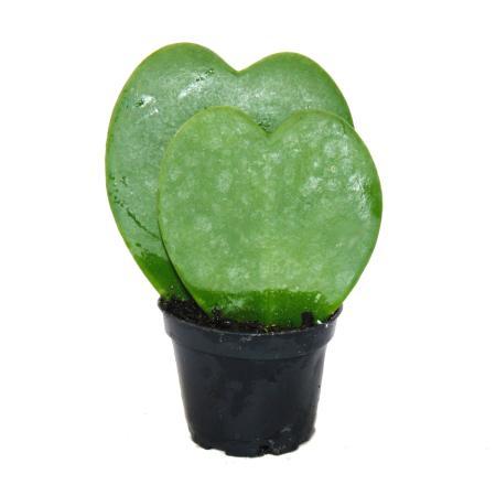 Hoya kerii - Herzblatt-Pflanze, Herzpflanze oder Kleiner Liebling - Doppelherz im 6cm Topf