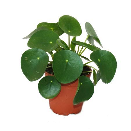 Pilea peperomioides gl ckstaler chinesischer geldbaum for Ausgefallene zimmerpflanzen