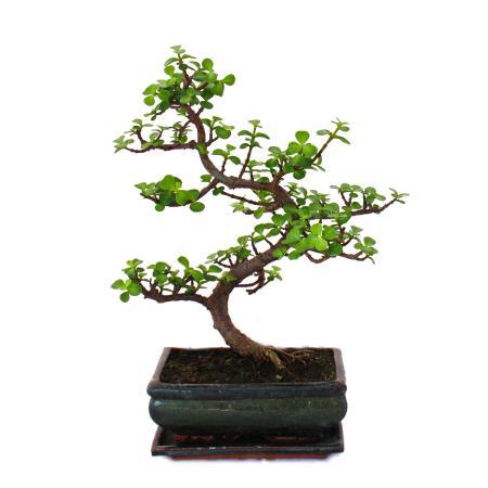 Bonsai - Portulacaria afra - Jadebaum - Afrikanischer Elefantenbaum - ca. 7-8 Jahre