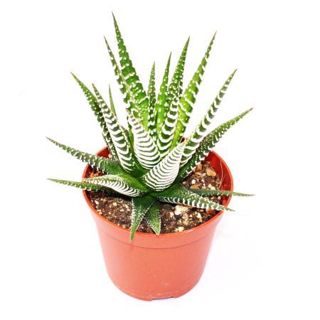 "Haworthia fasciata ""Big Band"" - mittelgroße Pflanze im 8,5cm Topf"