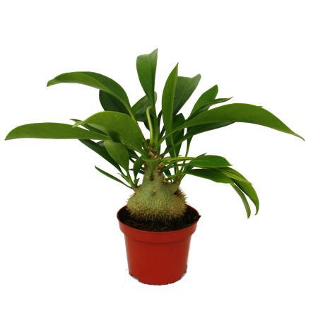 Ameisenknolle - Myrmecodia - Ameisenpflanze - 12cm