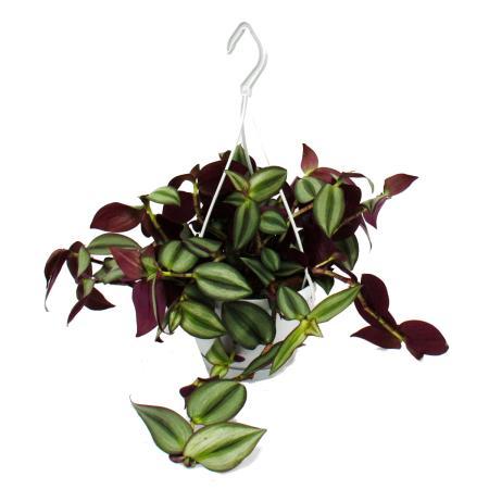 Zimmerpflanze zum Hängen - Tradescantia - Zebrakraut -  14cm Ampel