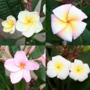 Hawaian temple tree - plumeria - surprise color