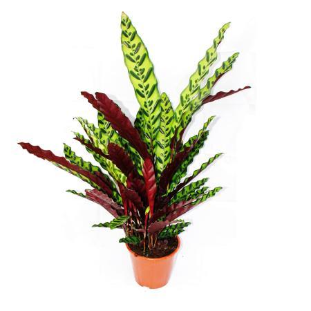 XXL shade plant with unusual leaf pattern - Calathea lancifolia - 17cm pot - ca. 60-70cm high