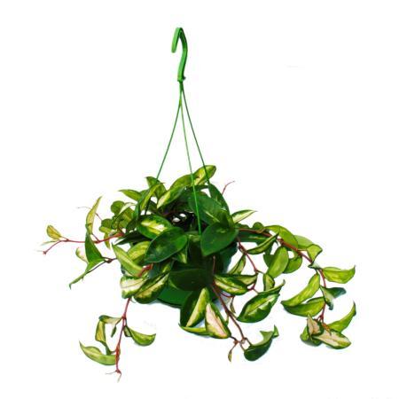 House plant to hang - Hoya carnosa rubra - Porcelain flower - Wax flower 14cm traffic light