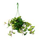 House plant to hang - Hoya carnosa rubra - Porcelain...