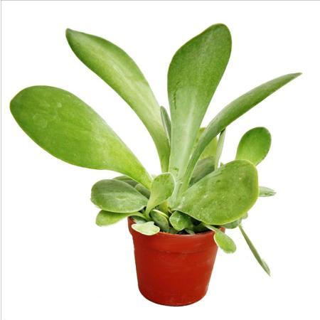 Kalanchoe thyrsiflora - mittelgrosse Pflanze im 8,5cm Topf