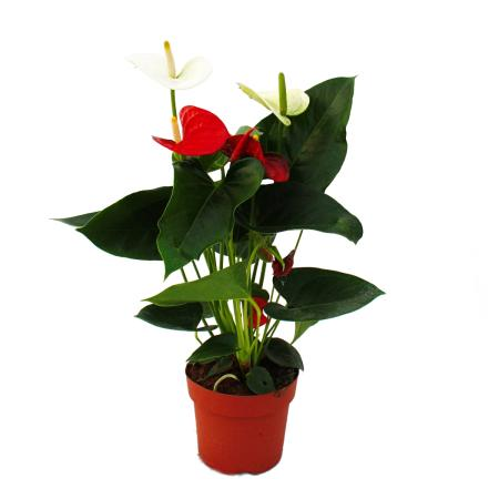 Flamingoblume Sierra Red & Sierra White TWINS Rot/Weiss 14cm Topf Anthurium andreanum