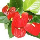 """Flamingo Flower """"Sierra Red"""" red Anthurium..."""