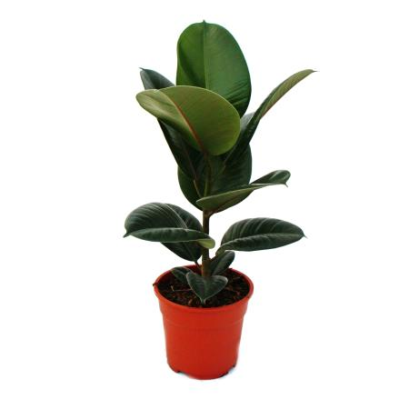 """Rubber tree - Ficus elastica """"Robusta"""" - 17cm pot"""