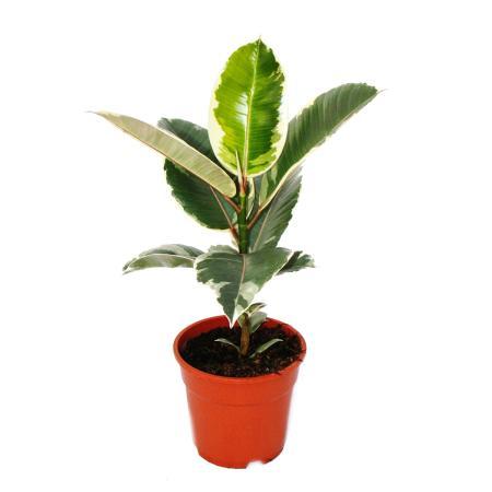 "White Colourful rubber tree - Ficus elastica ""Tineke"" - 17cm pot"