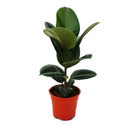 Gummibaum-Duo - 2er Set mit 2 versch. Ficus elastica Pflanzen - 17cm  Topf