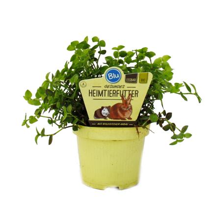 Feeding plant for pets - Callisia repens - Vital food for rabbits, ornamental birds, reptiles, hamsters and guinea pigs