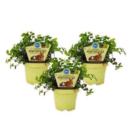 Set mit 3 Futterpflanzen für Heimtiere - Callisia repens - Vitalfutter für Kaninchen, Ziervögel, Reptilien, Hamster und Meerschweinchen