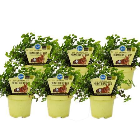 Set mit 6 Futterpflanzen für Heimtiere - Callisia repens - Vitalfutter für Kaninchen, Ziervögel, Reptilien, Hamster und Meerschweinchen