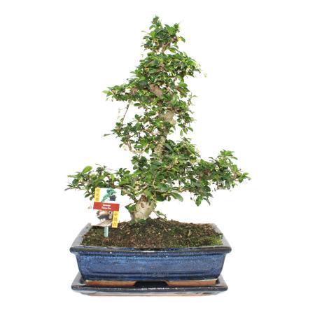 Bonsai Fukientee - Carmona microphylla - 12-15 years