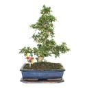 Bonsai Fukientee - Carmona microphylla - 12-15 years