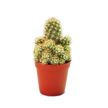 Mammillaria elongata - medium size plant in 8.5 inch pot