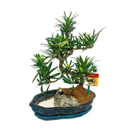Bonsai Podocarpus - rock landscape with China miniature - 25cm shell
