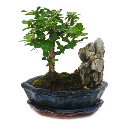 Bonsai Fukientee - Carmona microphylla - Felslandschaft - ca. 6 Jahre