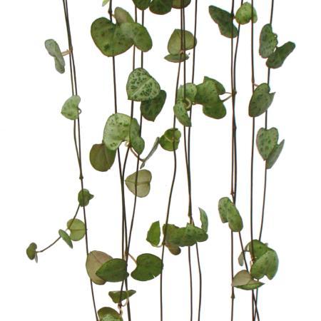 Exotenherz - Zimmerpflanze sonnig ...