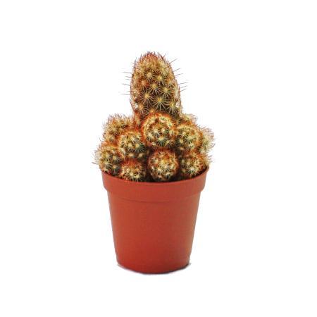 Mammillaria elongata rubra - medium size plant in 8.5 inch pot