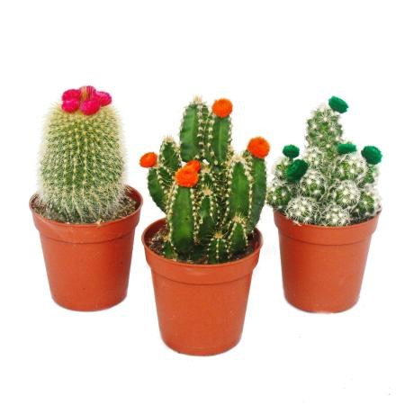 Cactus set - 3 different plants in a 5.5cm pot with colorful straw flowers