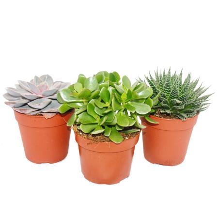 3er Set Sukkulenten - 3 verschiedene Pflanzen im 12cm Topf