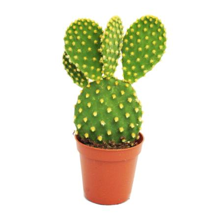 Opuntia microdasys - gelbstachliger ears cactus - in 8,5 cm pot