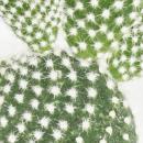 Opuntia microdasys albata - weissstachliger Ohrenkaktus - im 8,5cm Topf