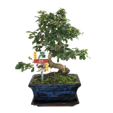 Bonsai Fukientee - Carmona microphylla - 8 years