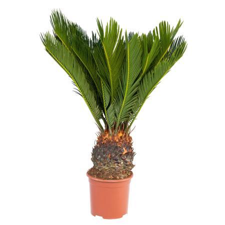 Japanischer Palmfarn - Cycas revoluta im 14cm Topf