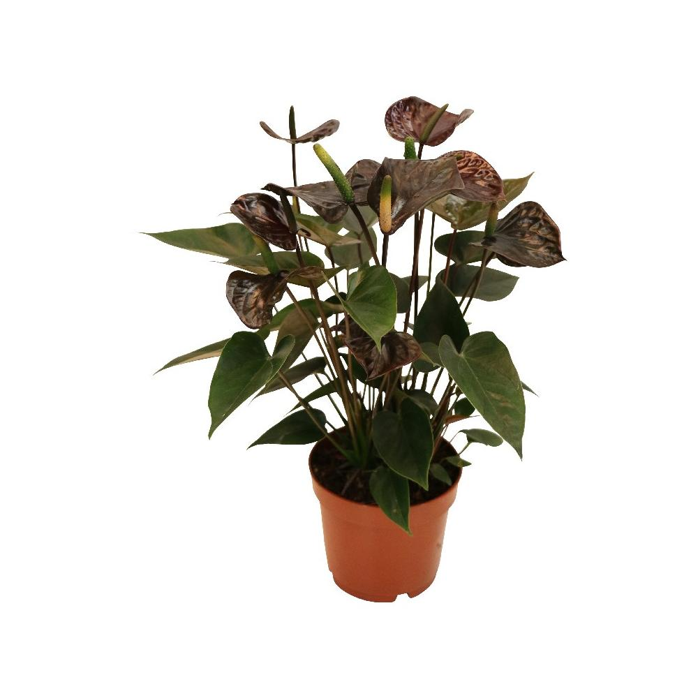 anthurium andreanum black karma mit schwarzer bl te im 12cm topf. Black Bedroom Furniture Sets. Home Design Ideas