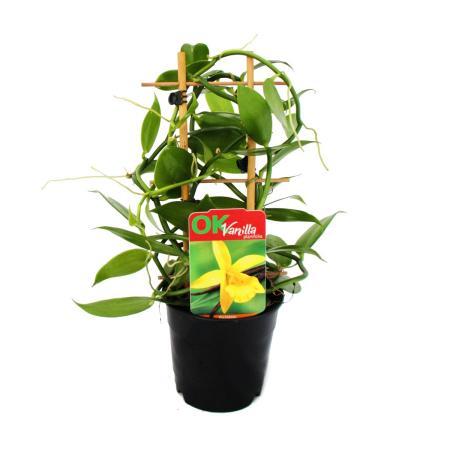 Real Vanilla Plant on trellises - Vanilla planifolia - Climbing Orchid