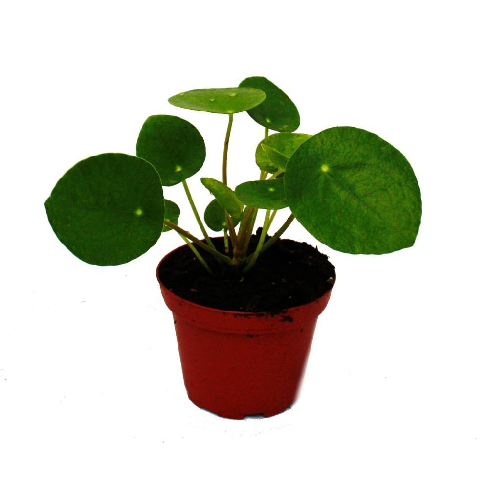 Mini pilea peperomioides gl ckstaler chinesischer for Ausgefallene zimmerpflanzen