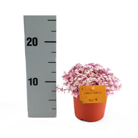 Callisia Rosato Pink Lady 11cm Topf