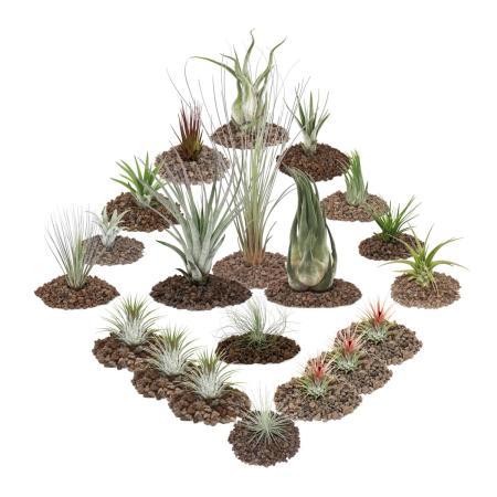 1 Tillandsien Set mit 20 Pflanzen inclusive 3 XXL-Pflanzen
