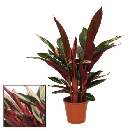 Schattenpflanze mit ausgefallenem Blattmuster - Calathea triostar - 14cm Topf