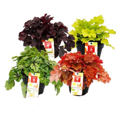 Winterharter Bodendecker - Heuchera-Mix - Indian Summer - 4 große Pflanzen - Purpurglöckchen
