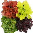 Hardy plants - Heuchera-Mix - Indian Summer - 4 big...