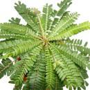 2er Set Biophytum sensitivum - Südseepalme - 9cm...