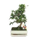 Bonsai Fukientee - Carmona microphylla - 10 years