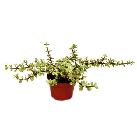 Zimmerpflanze - Portulacaria afra var.  - Jadebaum  - 12cm Topf