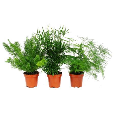 Ornamental asparagus - Set of 3 - 3 different Asparagus plants