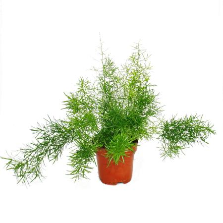 Ornamental asparagus - Asparagus densiflorus sprengeri - 12cm Pot