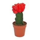 Gymnocalycium mihanovichii - strawberry cactus - red -...